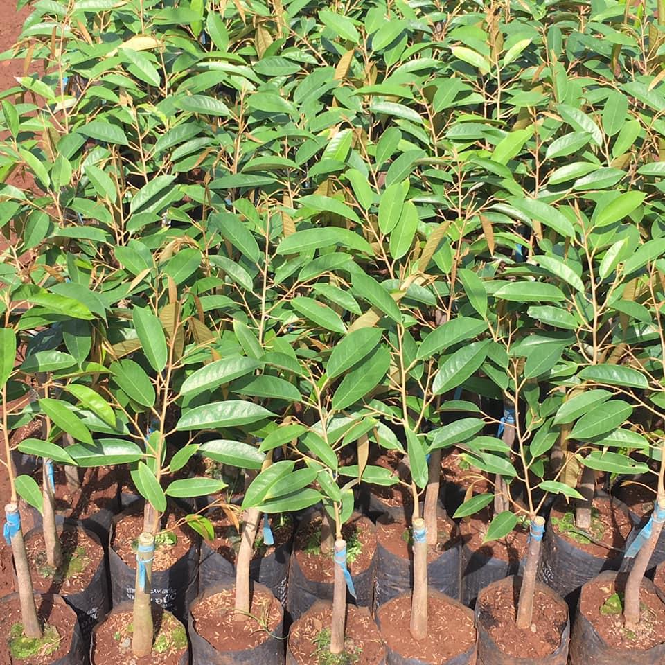 Bảng giá giống cây trồng, cây giống ăn quả tại vườn ươm 2021