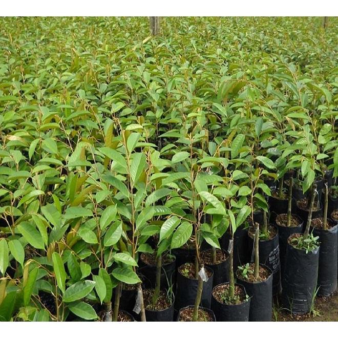 kỹ thuật trồng sầu riêng