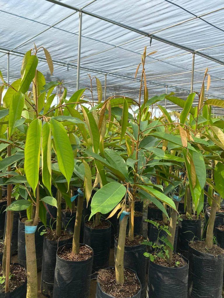 Cây sầu riêng Thái đủ tiêu chuẩn trồng