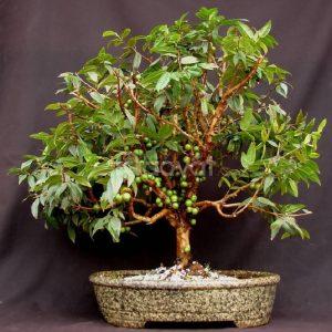 Cây nho thân gỗ tứ quý bonsai
