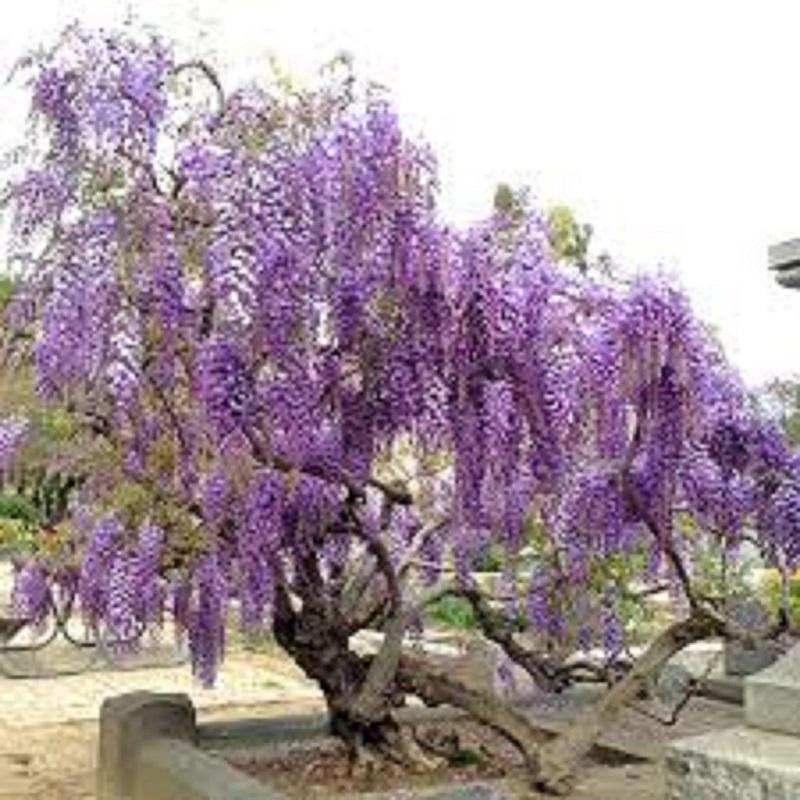 Một cây có hoa màu tím tuyệt đẹp