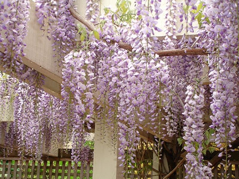Hoa màu tím rũ xuống mầm mại