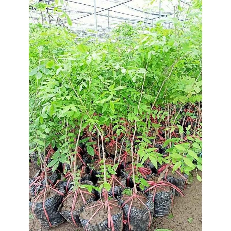 Cây tử đằng được các đơn vị giống cây trồng bán tại Việt Nam